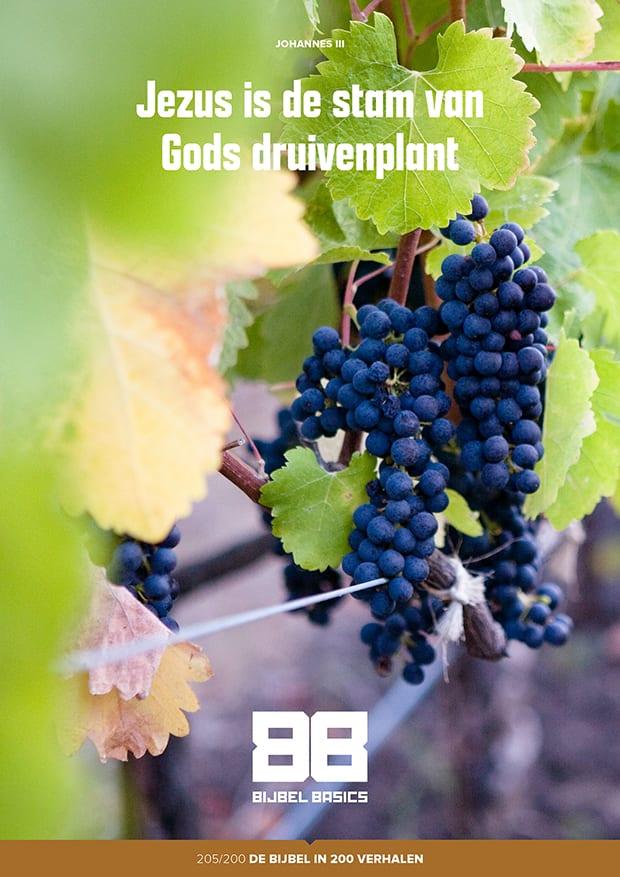 Jezus is de stam van Gods druivenplant